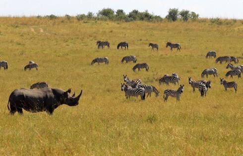 Black Rhino Tracking